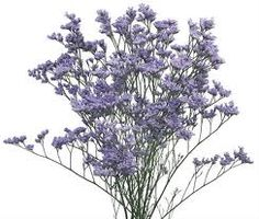 misty blue limonium - British October birth flower