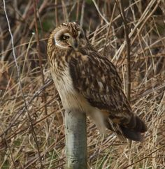Pueo, Short-Eared Owl