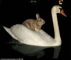 Bunny takes a swan ferry across the lake
