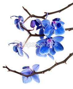 Orchid isolated on white background by InvisibleViva - Foto Stock