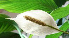 Espatifilo, flor de la paz, vela del viento, flor de muerto (Spathiphyllum sp.)