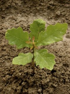 Propagating Oak Trees – Learn How To Grow An Oak Tree. Did you know oak tree numbers are declining? Learn more about what you can do in this article.
