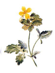 ROSOPAS OBIČNI (Chelidonium maius) http://belko.gooforum.com/t26-rosopas-chelidonium-majus-l