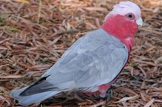Learn about one of Australia's most popular parrots, the colorful and playful galah. Includes field marks, diet, reproduction and more. Galah Cockatoo, Peace And Love, Birds, Facts, Animals, Animales, Animaux, Bird, Animal
