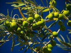 Beautiful olives