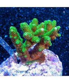 """Acropora millepora - Maricultured """"Super Green"""" Millepora - 3"""" (Bali)"""