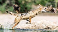 FABLE AFRICAINE. Il ne s'agit pas d'un renard ni même d'un coyote, mais d'un chacal à dos argenté. Et la scène ne se déroule pas dans le courant d'une onde pure, mais au bord de la rivière Nossob, au cœur du parc naturel du Kalahari, entre Botswana et Afrique du Sud. Il faudrait donc le talent d'un Richard Kipling conjugué à celui d'un Jean de La Fontaine pour nous conter la morale de cette scène de chasse.