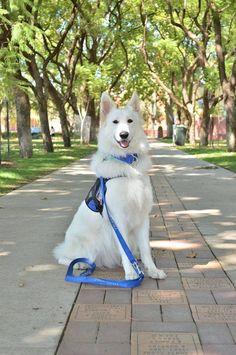 This adorable pitbull puppy will brighten your day. Dogs are wonderful creatures. Aussie Puppies, Dogs And Puppies, Doggies, Sweet Dogs, Cute Dogs, White Swiss Shepherd, German Shepherd Puppies, German Shepherds, Schaefer