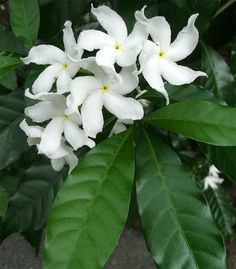 images of botanical flowers   plant with cool white flowers.