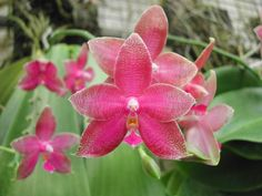 Phal. Coral Isles 'TH' – Louisiana Orchid Connection