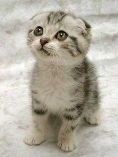 scottish fold : If I ever get another cat it will be a fold !