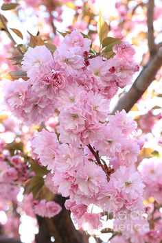 """""""Pink Blossoms Beauty"""" by Carol Groenen  #cherryblossoms #pinkblossoms #blossoms #spring #springtime  #carolgroenen  http://carol-groenen.pixels.com"""