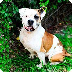 Fort Lauderdale, FL - Bulldog Mix. Meet Charlotte, a dog for adoption. http://www.adoptapet.com/pet/13630196-fort-lauderdale-florida-bulldog-mix