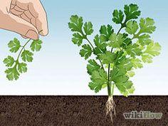 Grow Cilantro Step 6.jpg