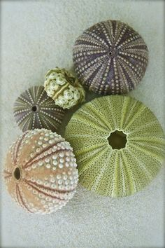 Sea Urchin shells.  Photo by nikkid12268, via Flickr.