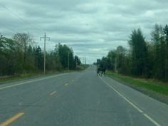My first time photographing an actual moose crossing.  Not just for quaint signs for tourists to giggle at.