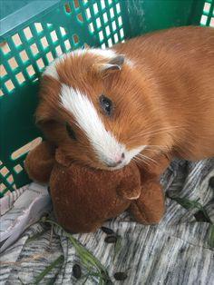 Pinterest: @naomigonzz // Ginger the guinea pig