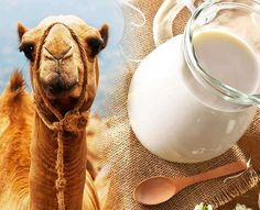 The global camel milk market is expected to exhibit a CAGR of 4.01% enlarge during the forecast period, 2020−2026. Rising popularity of camel milk and dairy products is likely to attain a high market growth throughout the forecast period.