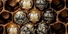 Le photographe Anand Varma filme en gros plans la naissance d'abeilles de l'état de simple œuf jusqu'à la vie adulte. Son objectif, sauver les abeilles dont le nombre diminue de façon alarmante....