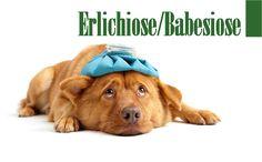 Doença do Carrapato  #veterinaria #medicinaveterinaria #carrapato #doençadocarrapato #erlichiose #babesiose