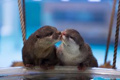 Otter Valentines Snuggle, Kiss, and Walk with One's Tail Around the Other 2 Cute Funny Animals, Cute Baby Animals, Animals And Pets, Otters Cute, Baby Otters, Baby Sloth, Beautiful Creatures, Animals Beautiful, Otter Love