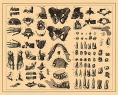 Skull and bone Illustrations from Brockhaus and Efron Encyclopedic Dictionary (1890—1907)