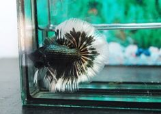 THAI-IMPORT-Copper-Black-Butterfly-Rosetail-Halfmoon-Betta-QUALITY-LIVE-FISH