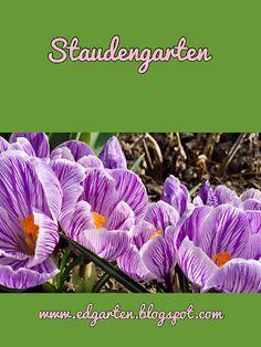 Gestreifte Krokus - im Focus 2 Vegetables, Plants, Daffodils, Natural Garden, Shade Perennials, Tulips, Hobbies, Vegetable Recipes, Plant