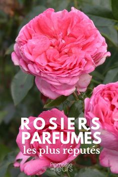 The best scented roses – If the rose is often nicknamed the queen of flowers, it is also because at her beauty, in all its diversity of shapes and colors, drapes itself in a wonderful perfume. Rose Garden Design, Rose Design, Diy Garden, Shade Garden, Herbs Garden, Garden Signs, Colorful Garden, Beautiful Gardens, Outdoor Gardens