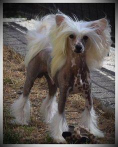Elevage Du coeur des ténèbres - chiens Chien chinois à crête