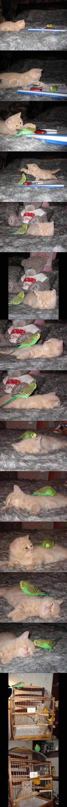 The Kitten And The Bird (15 Pics): Cats, Animals, Kitten, Friends, Stuff, Pet, Funny