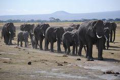 Elephants at Amboseli, Kenya