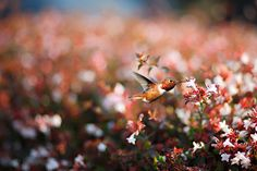 Credit: Susan Gary/Getty Images Rufous hummingbird – California, US Rufous hummingbirds – here seen feeding on nectar at Huntington Beach, California – are just 8cm long but the hyperactive birds migrate across North America, following the blooming of wild flowers