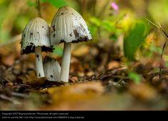Foto 'Schopftintlinge' von 'Skymountain.de'