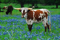 Texas long horn steer in a pasture of bluebonnets.