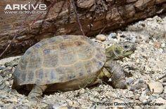 Afghan Tortoise | Afghan tortoise photo - Testudo horsfieldii - G24806 | ARKive
