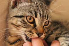 Have you ever wondered if your cat loves you? Cats express love for their owners in a number of ways. While some of these may be a bit obvious, other tokens of their affection have some hidden meaning behind them and you may have overlooked them not even realizing it. Once you know the signs, …