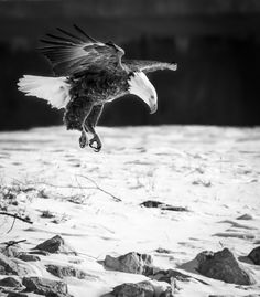 Hovering Eagle in Black and White