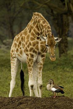 Curious giraffe by Graeme Guy