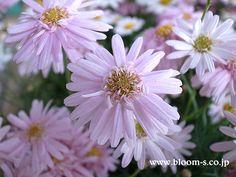 八重のマーガレットです♪ 淡いピンク色のお花、かわいいです!マーガレットの花言葉:誠実な愛、真実の友情 #マーガレット http://www.bloom-s.co.jp/kanri-ha/ma-ga.htm