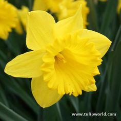 Classic Daffodil