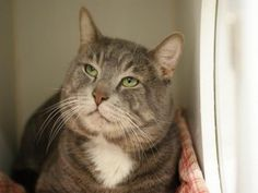 *** TO BE DESTROYED 01/26/16 *** KYLO REN NEEDS THE FORCE TONIGHT!!....A staff member writes: A long time ago in a galaxy far, far away… Who doesn't love Star Wars?! Our little Kylo Ren is nothing like him namesake, though. This sweet seven year old tabby was abandoned in an apartment building and is now at our Manhattan Care Center waiting for his new home. Kylo is a bit nervous, but has slowly opened up during his time here. We think Kylo would thrive in a relaxed and quiet home with…