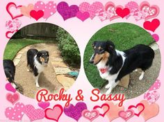 Rocky & Sassy is an adoptable Collie searching for a forever family near Houston, TX. Use Petfinder to find adoptable pets in your area.