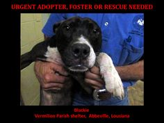 URGENT! WILL DIE 5/14/14. Blackie is a male Pit Mix and is 7 months old. This baby is in a kill shelter in Abbeville, LA which does not allow public adoptions. Animals must be pulled by an approved rescue or can be adopted through AAVA.  TO ADOPT - fill out an application at http://animalaidvermilionarea.com/adoptions.php https://www.facebook.com/AnimalAidVerm/photos/a.469848889720559.102335.323985237640259/682635935108519/?type=1&theater