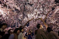 Cerejeiras no japão, 2013