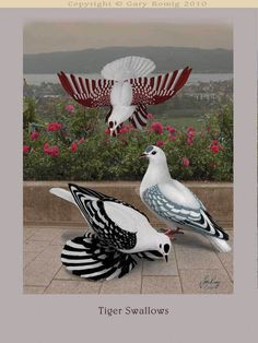 Pigeon art: Tiger Swallow Pigeons by Gary Romig