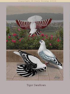 Pigeon art: Tiger Swallow Pigeons by Gary Romig Exotic Birds, Colorful Birds, Exotic Pets, Pigeon Pictures, Bird Pictures, Owl Art, Bird Art, Beautiful Birds, Animals Beautiful