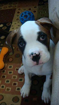 Meet Pepper. She's half boxer, half american bulldog.