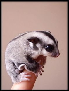 Sugar Glider on a finger