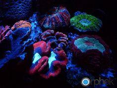 coral-feeding
